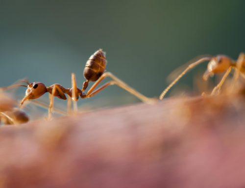 Lent|Vignette (An Ant)